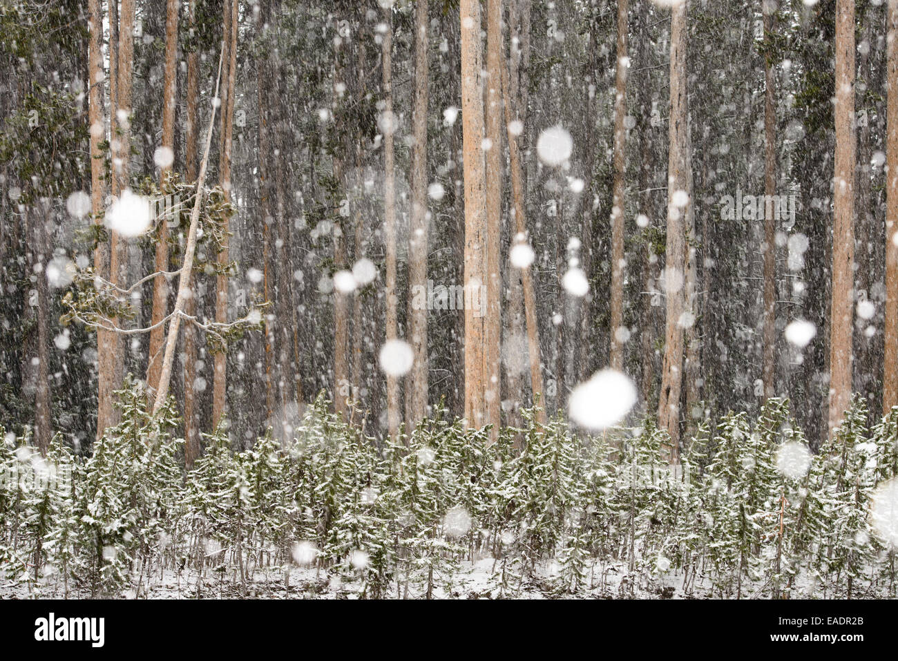 Heavy snow at a stand of conifer forest in Yellowstone National Park after June snowfall. - Stock Image