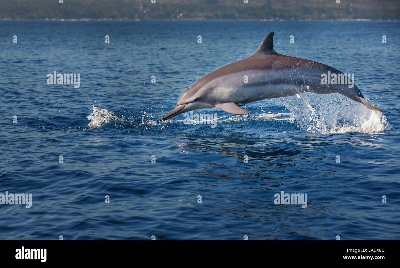 Indo-pacific Bottlenose Dolphin (Tursiops aduncus), Lovina Bay, Bali, Indonesia - Stock Image