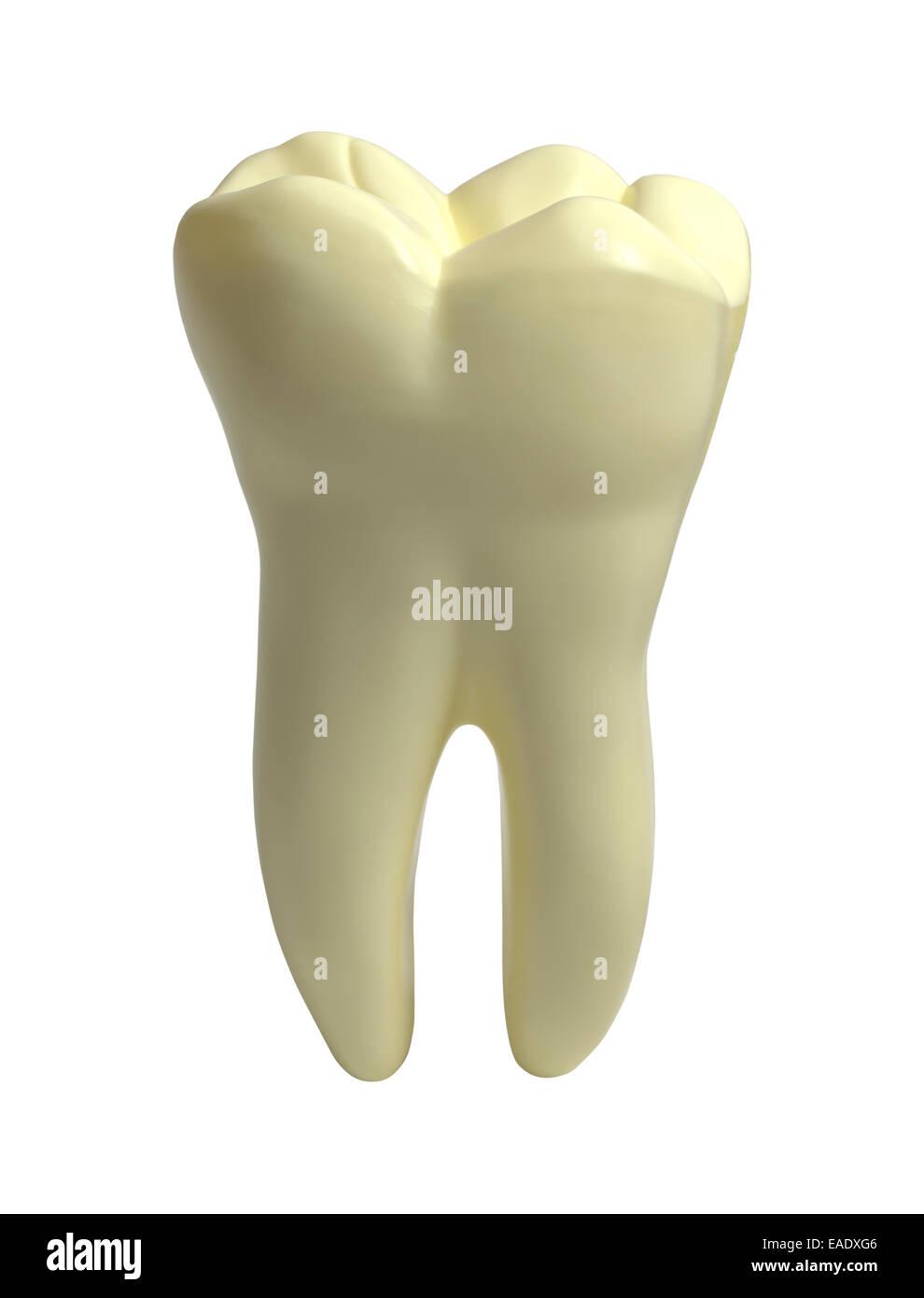 Large Single Molar Human Tooth Isolated on White Background. - Stock Image