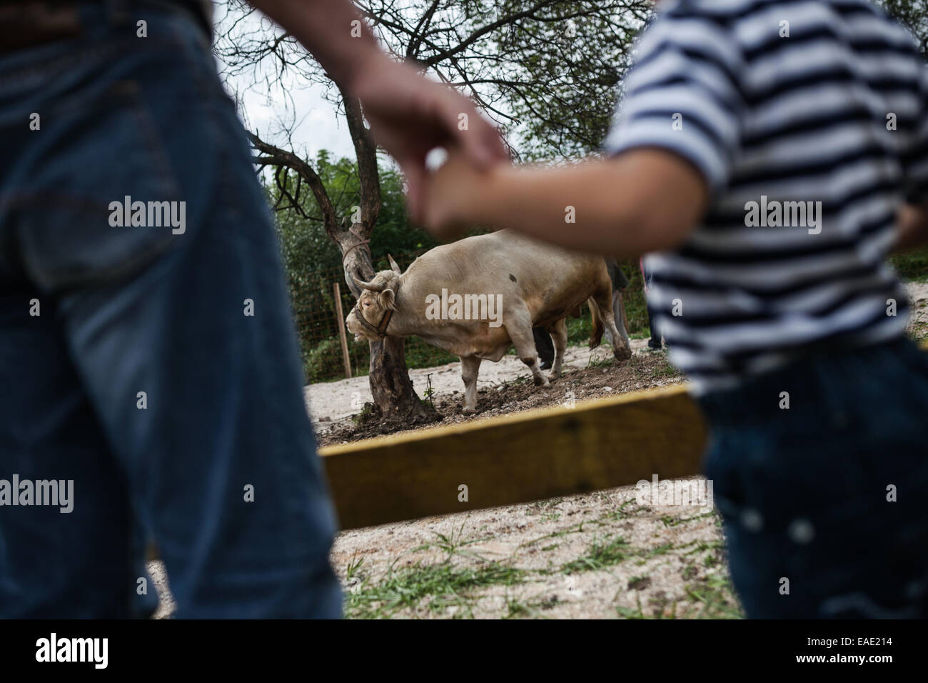BOSNIA AND HERZEGOVINA / Vitez / Grandfather and his grandson watch bull before bullfight in central Bosnian town Stock Photo