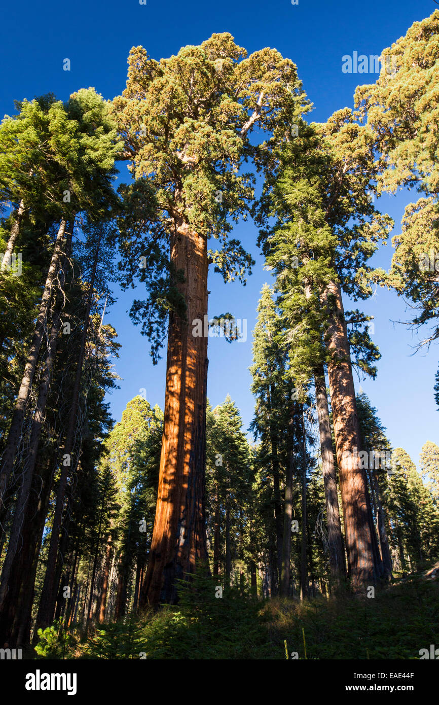 Giant Redwood, or Sequoia, Sequoiadendron giganteum, and an RV in Sequoia National Park, California, USA. Stock Photo