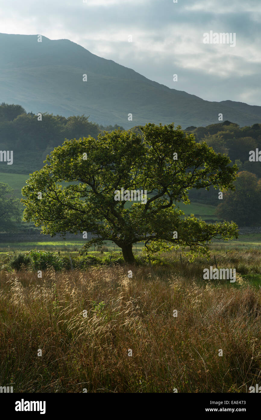 The setting sun falls behind the mountain, Moel Hebog, back lighting an English Oak tree, Quercus robur, near Beddgelert. - Stock Image