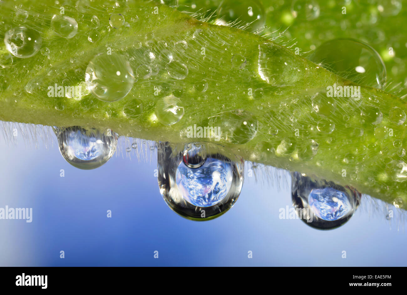 Planet Earth reflected in dewdrops, symbolic image of water as an elixir of life, Germany Stock Photo