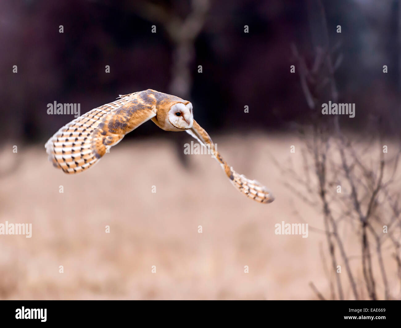 Beautiful Barn Owl, [Tyto Alba] full flight with wings extended. - Stock Image