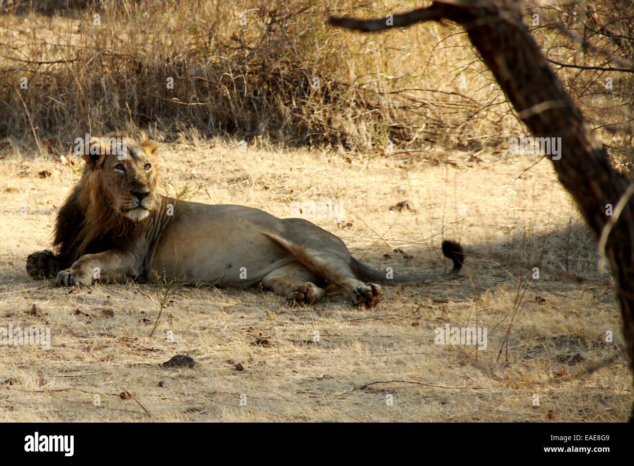 Asiatic Lion, Gir Forest, Sasan Gir, Gujarat, India - Stock Image
