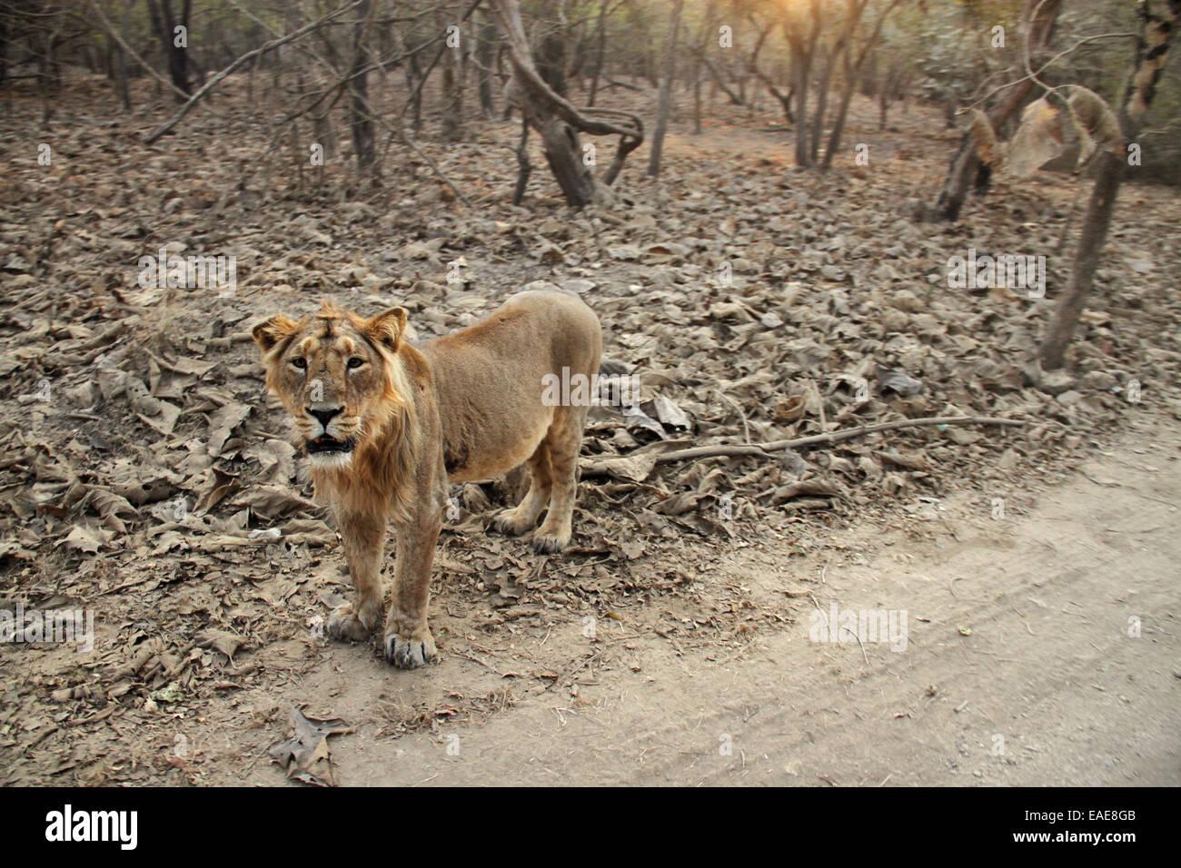 Gir Forest National Park, Sasan Gir, Gujarat, India - Stock Image