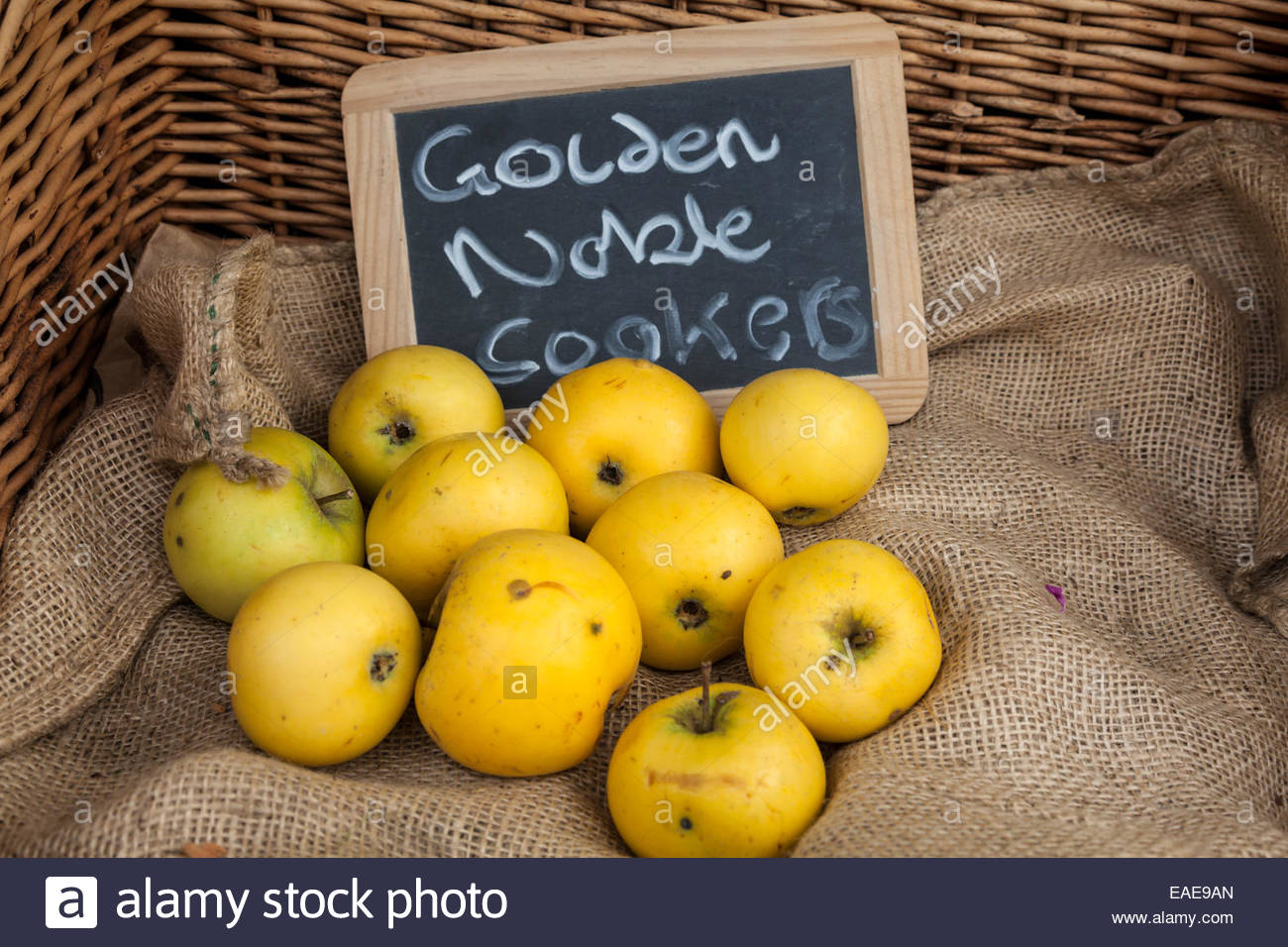 Cooking Apples - variety is Golden Noble - Stock Image