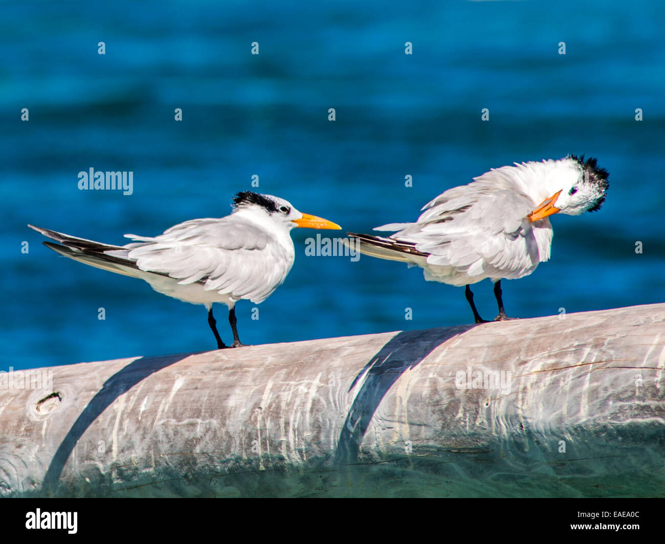 Two Royal Terns [Thalasseus maximus] preening on a pole jutting out with the Caribbean sea in the background. - Stock Image