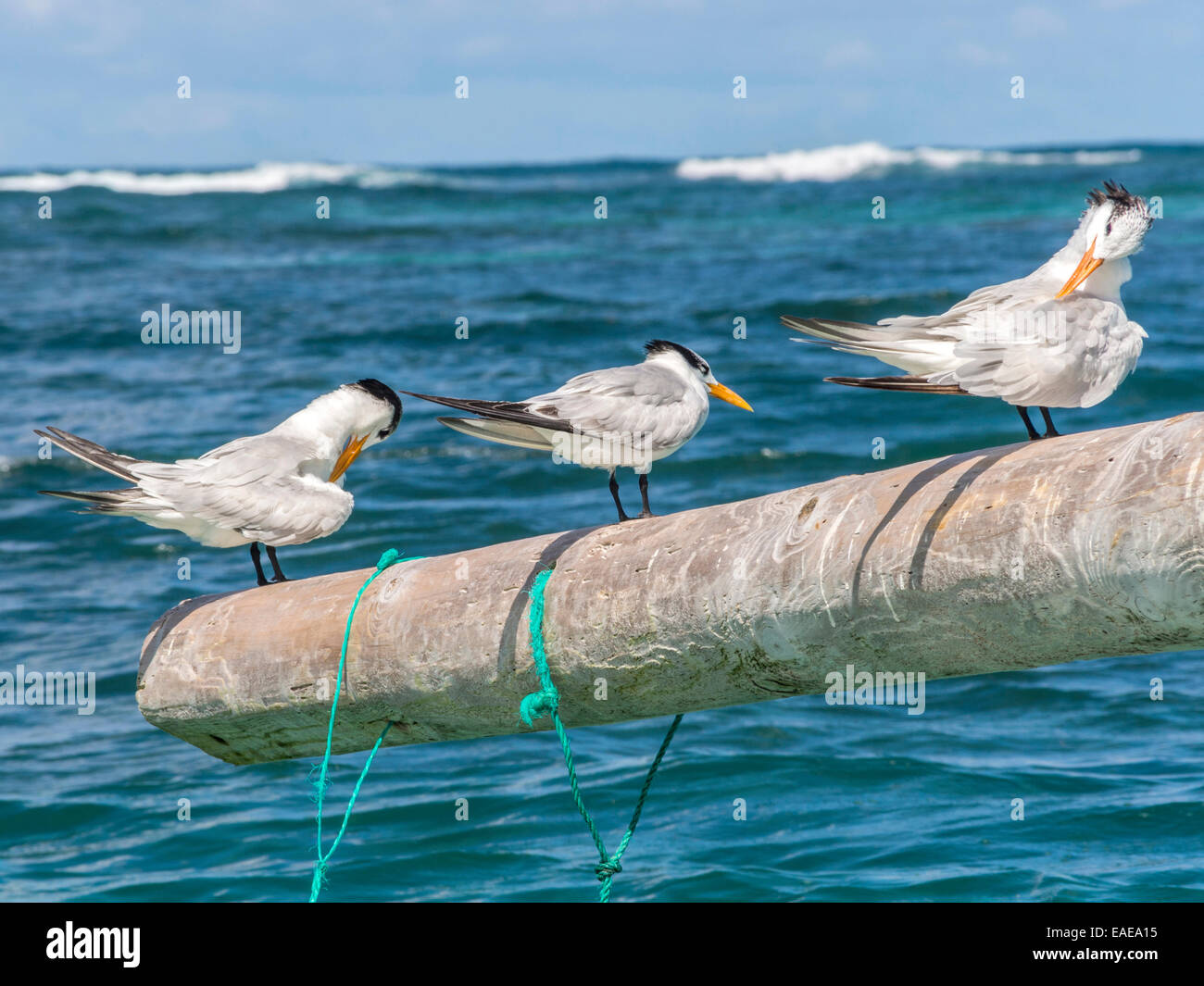 Three Royal Terns [Thalasseus maximus] preening on a pole jutting out with the Caribbean sea in the background. - Stock Image