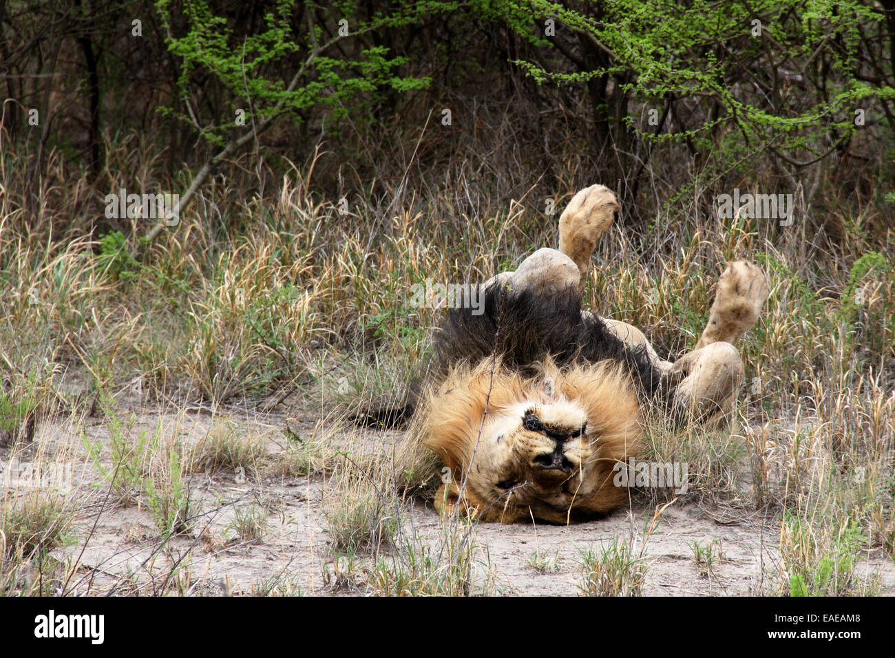Sleeping Lion, Madikwe, South Africa - Stock Image