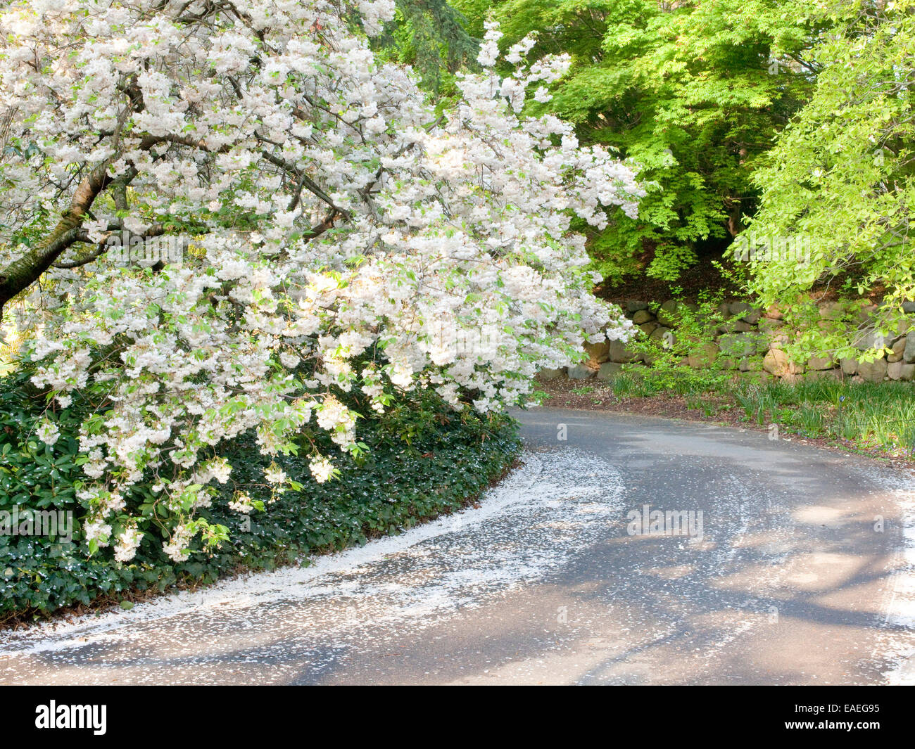 spring blossoms and fallen flower petals on tree and  along road - Stock Image