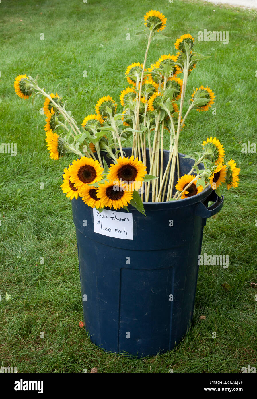Sunflowers for sale in large trash can - Stock Image