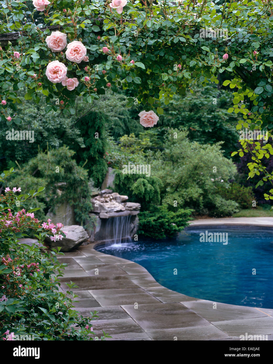 swimming pool and water fall as seen through garden roses - Stock Image