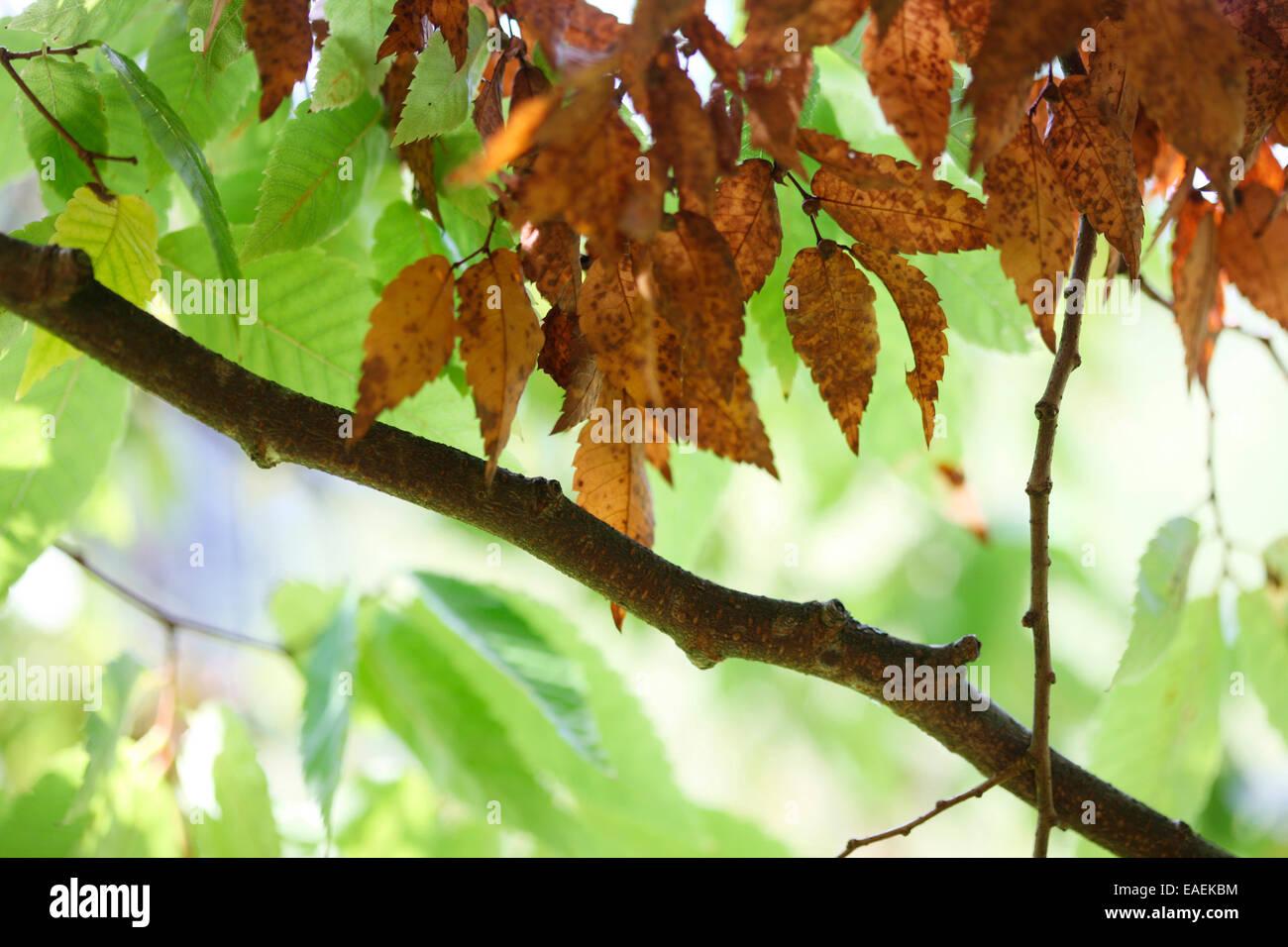 Zelkova Serrata-Keaki changing leaves in Autumn Jane Ann Butler Photography JABP1328 - Stock Image