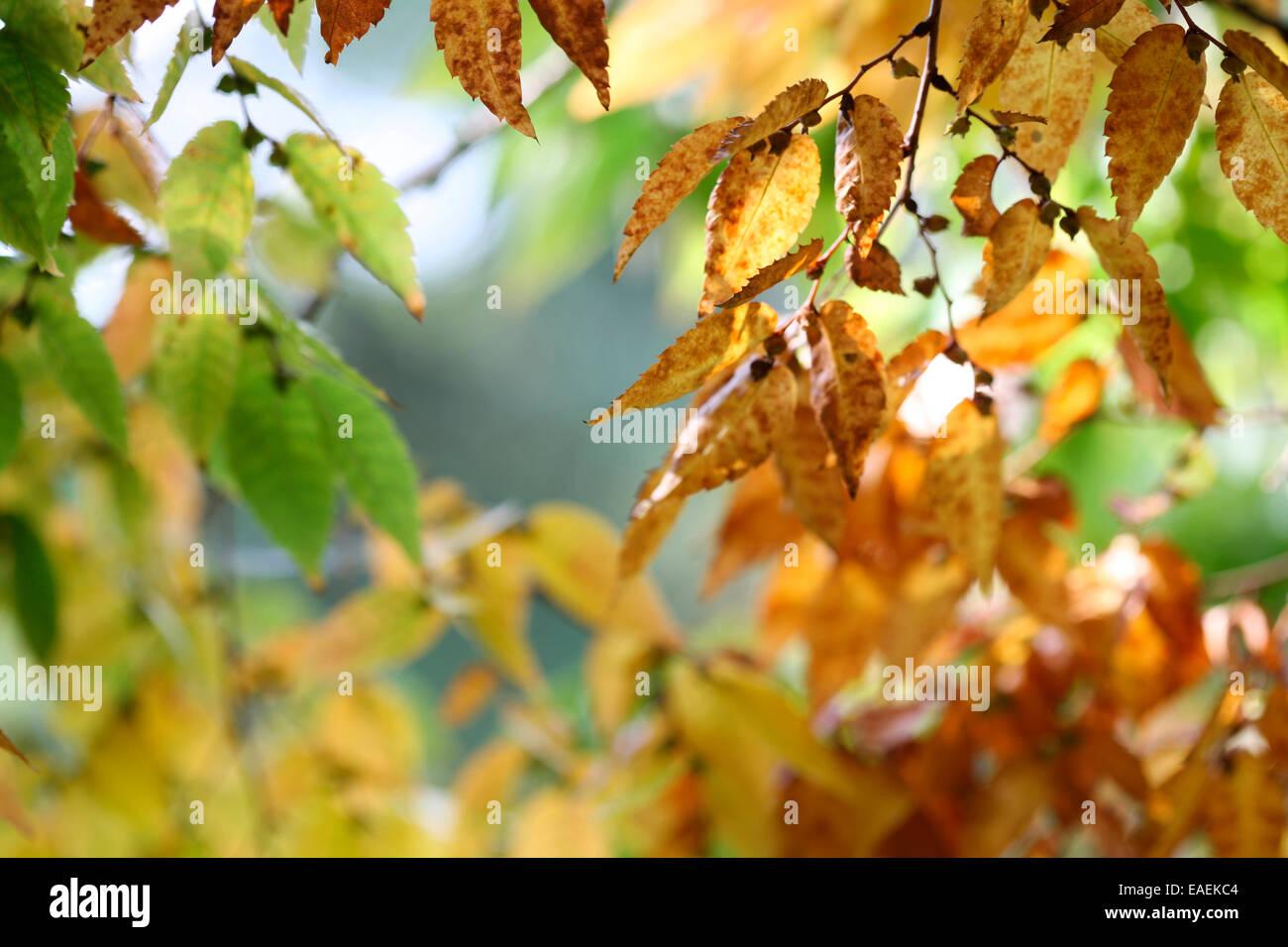 Zelkova Serrata-Keaki changing leaves in Autumn Jane Ann Butler Photography JABP1327 - Stock Image