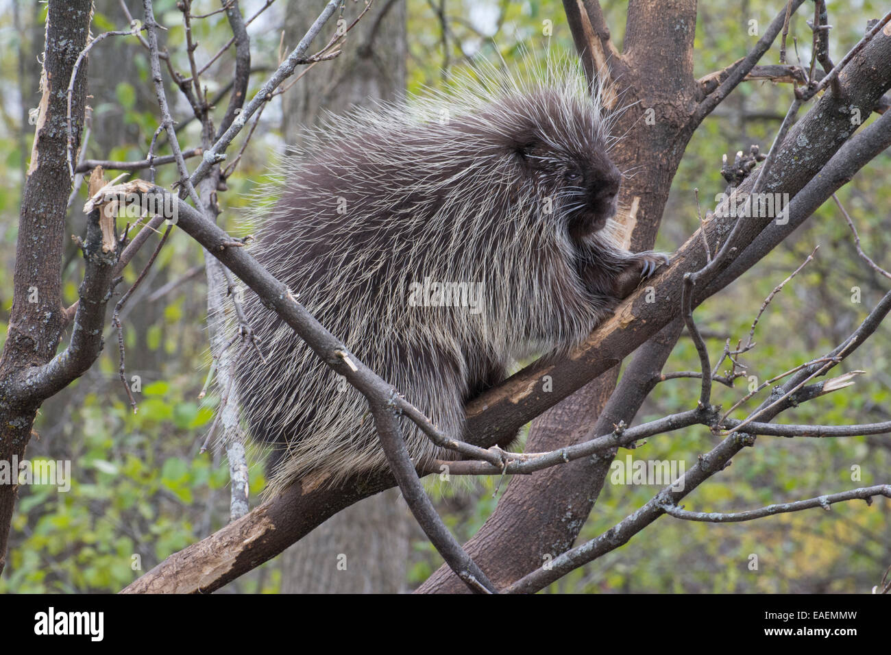 A Canadian Porcupine. Stock Photo