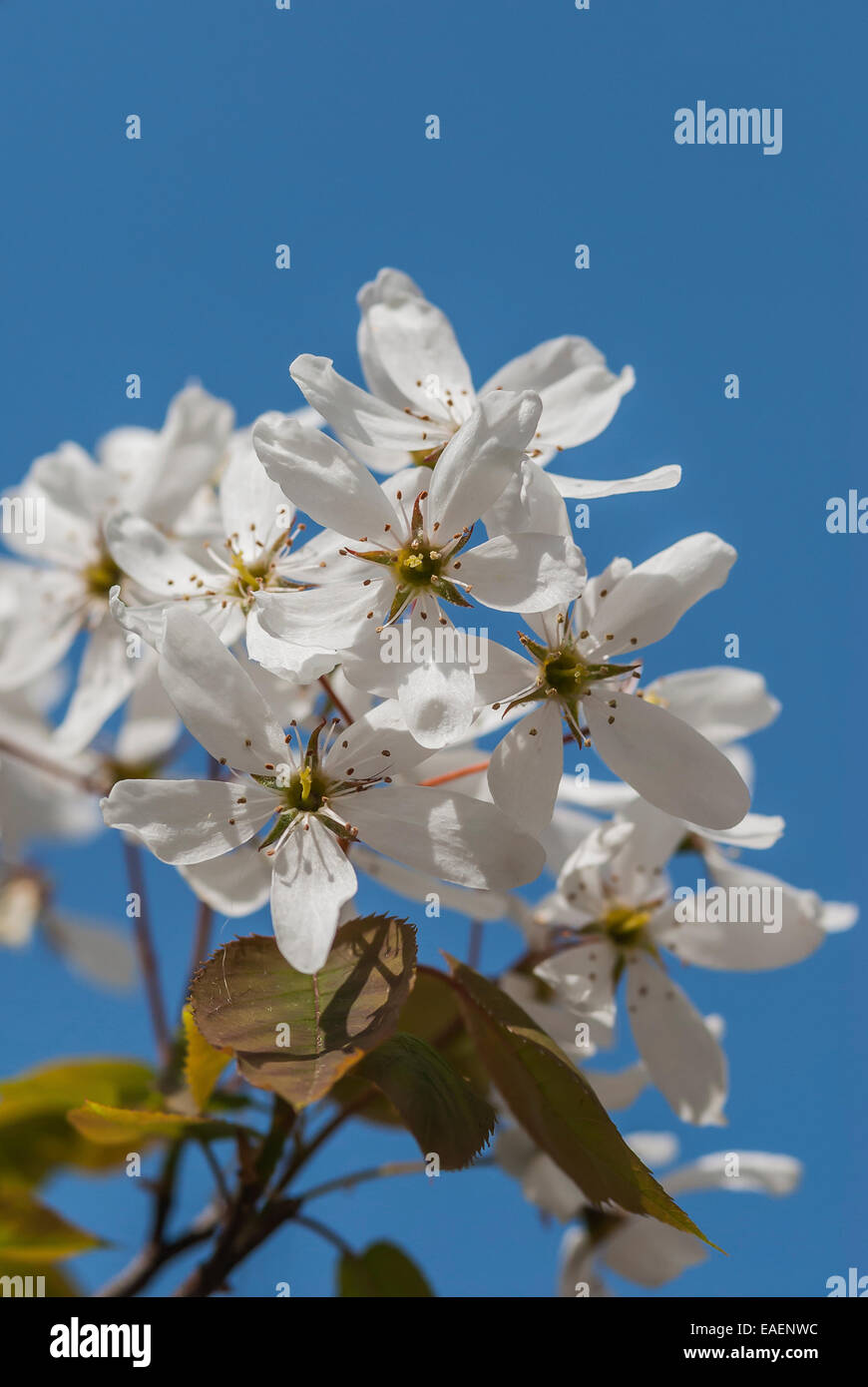 White fruit tree blossom in full bloom against a clear blue Spring sky. - Stock Image