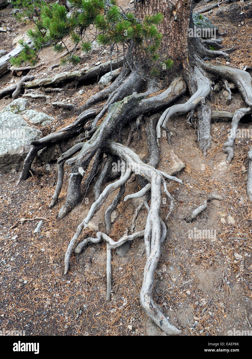 Tangle of Exposed Tree Roots - Stock Image