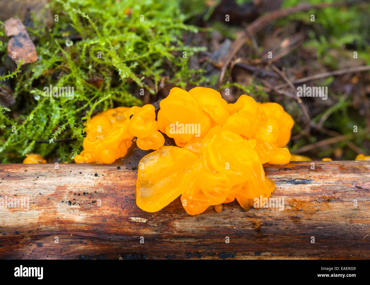 Witches' butter mushroom - Stock Image