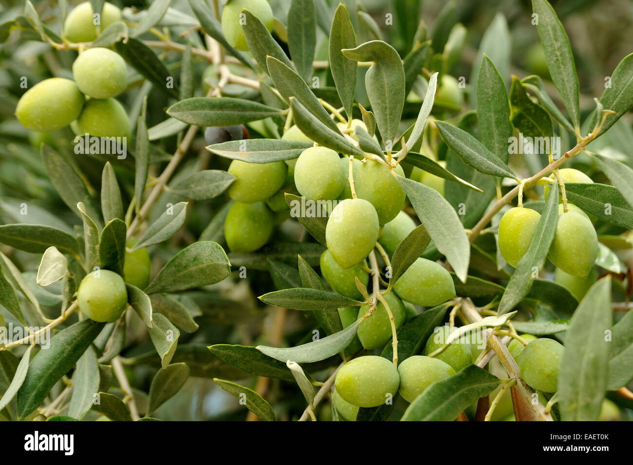 GREEN OLIVES GROWING ON AN OLIVE TREE IN CYPRUS - Stock Image