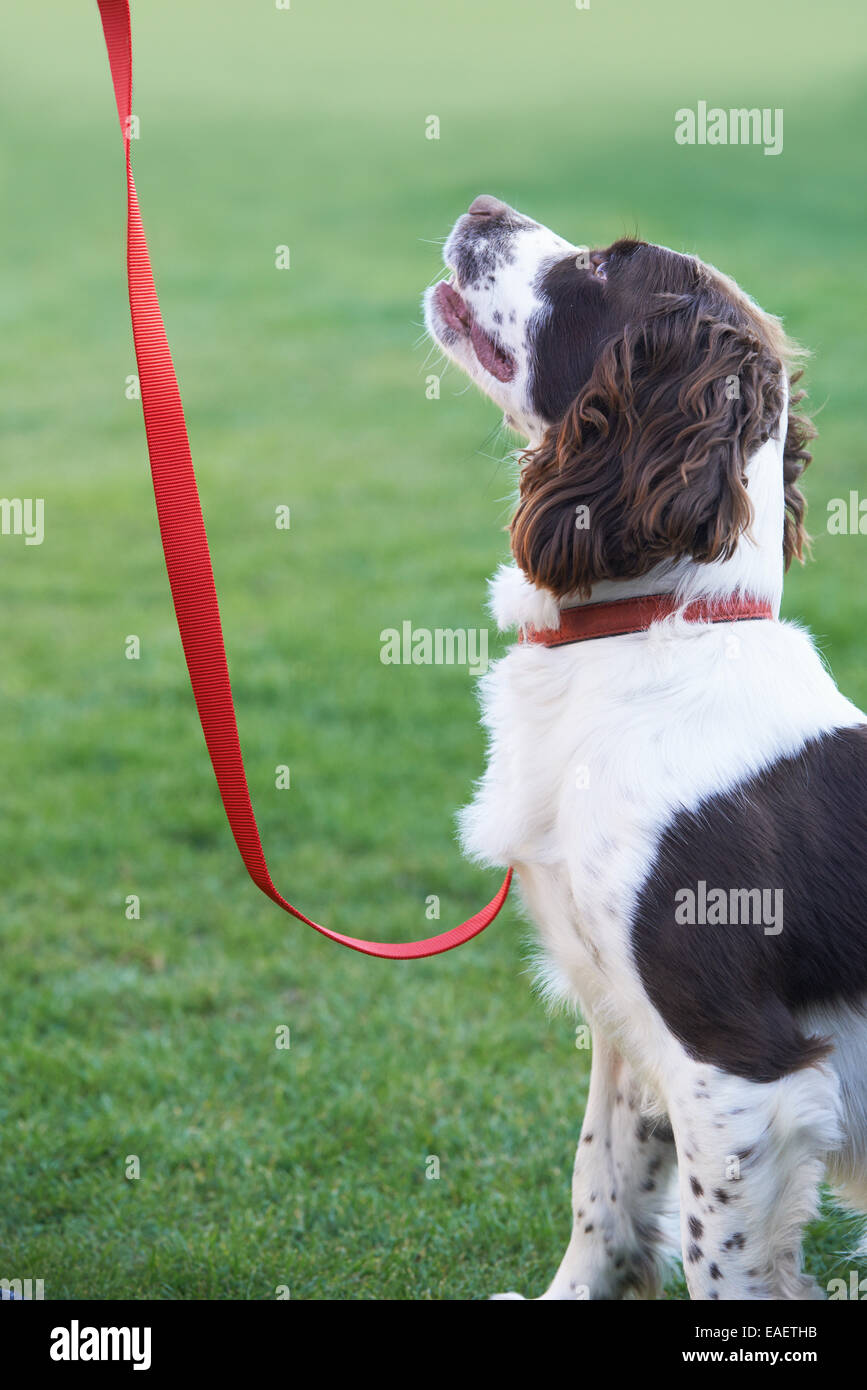 Obedient Spaniel Dog On Leash Outdoors - Stock Image