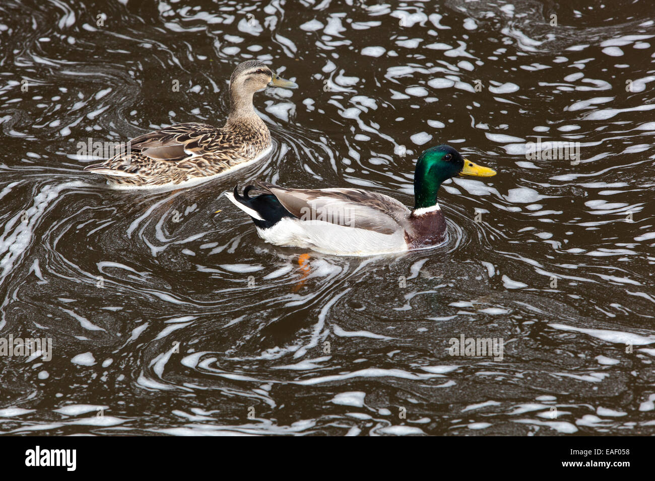 Mallard duck in the foaming river, polluted river - Stock Image