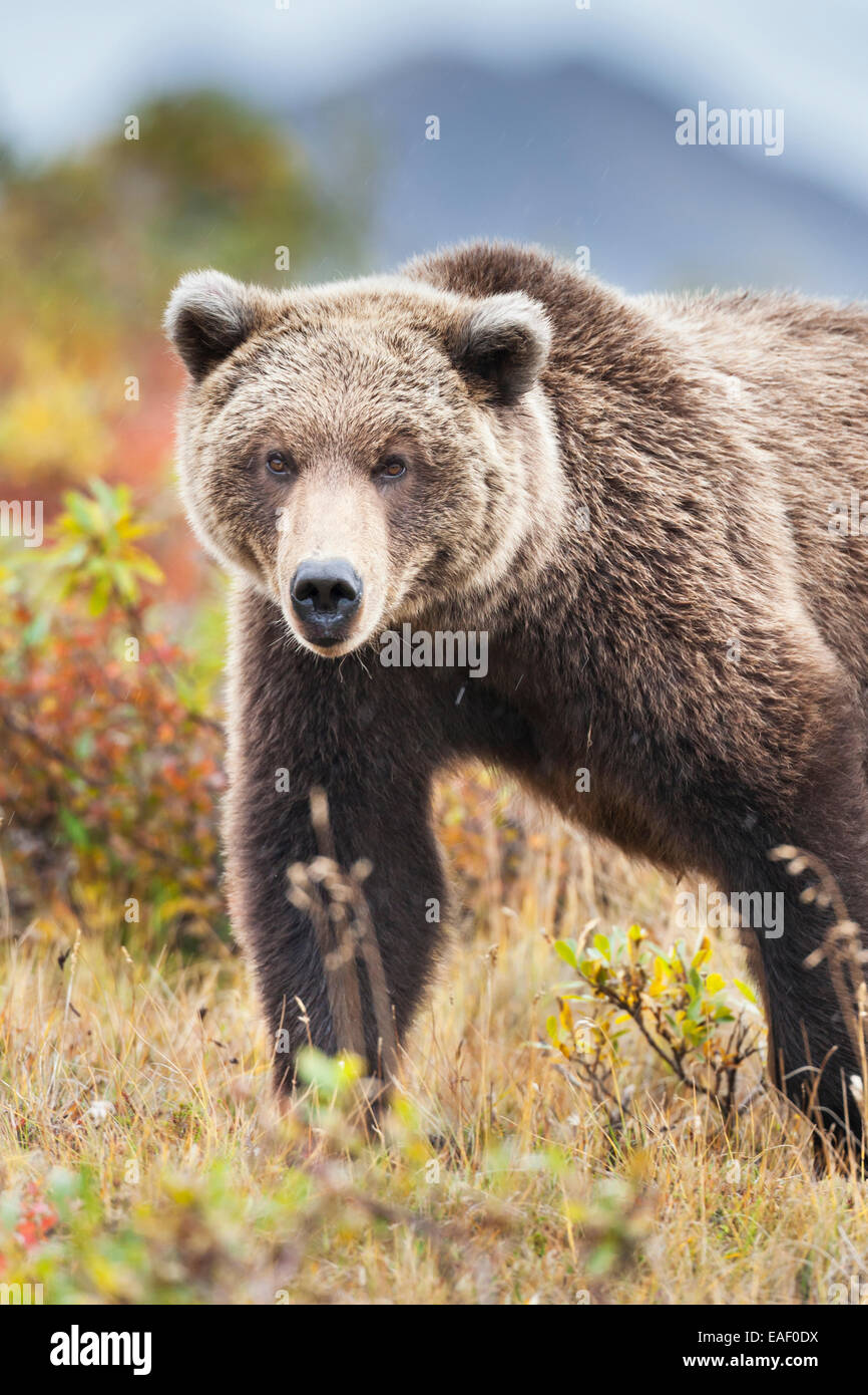 Grizzly bear portrait on the autumn tundra in Sable pass, Denali National Park, interior, Alaska. - Stock Image