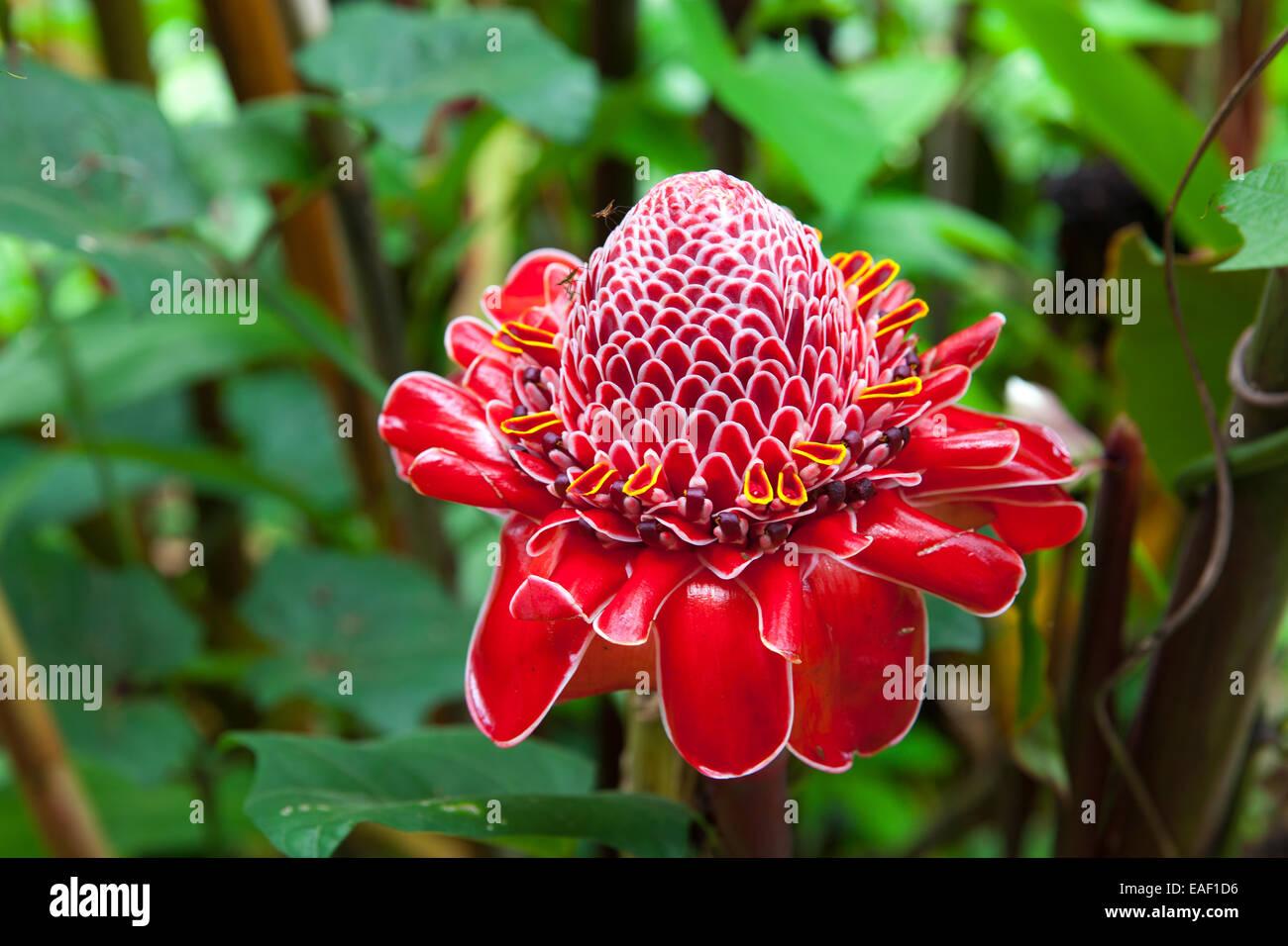 Red torch ginger flower on bigland island hawaii usa stock photo red torch ginger flower on bigland island hawaii usa izmirmasajfo