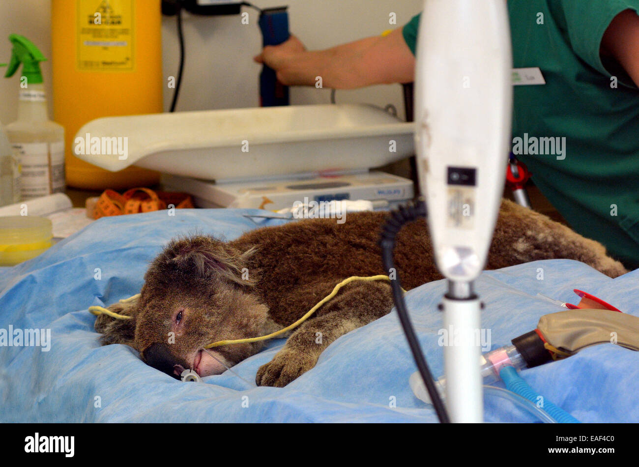 GOLD COAST, AUS - NOV 04 2014:Injured Koala patient in Currumbin Wildlife Sanctuary Hospital.The wildlife hospital - Stock Image