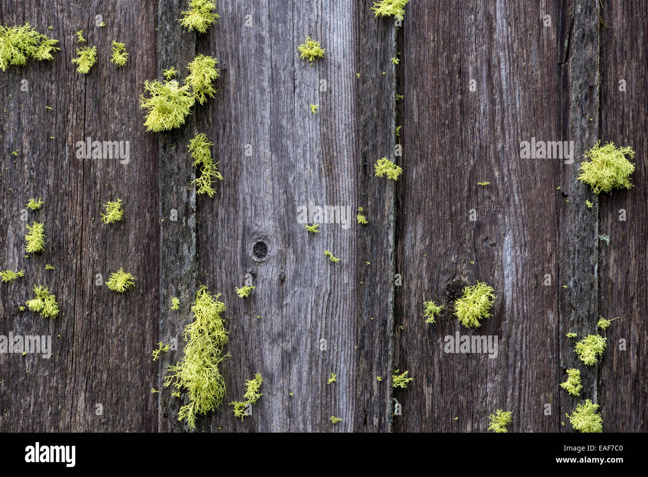 Lichen on the wood siding of a decaying cabin in Oregon's Blue Mountains. - Stock Image