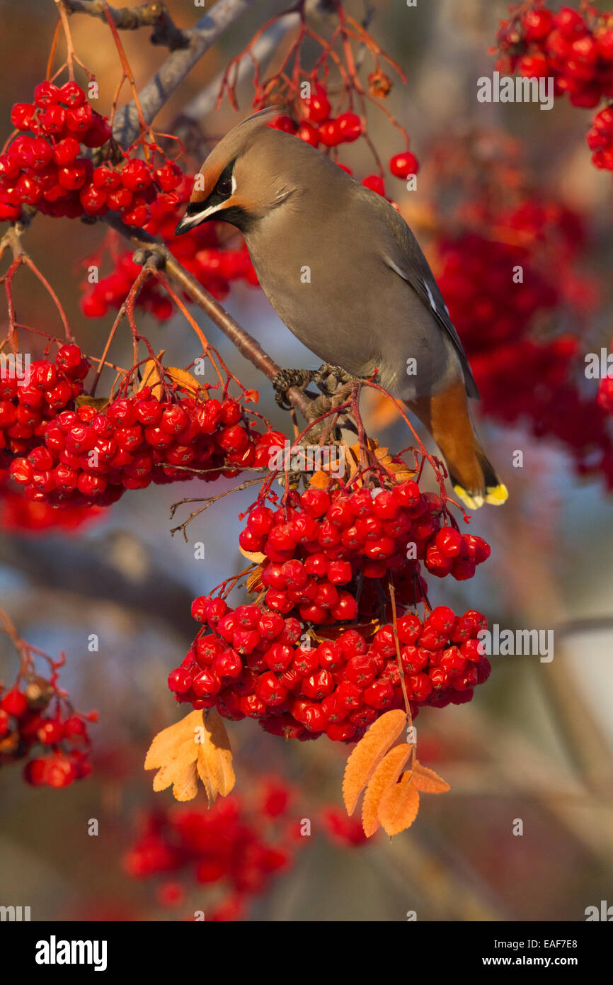 Bohemian Waxwing perches to eat in colorful Mountain Ash berries in winter in the Anchorage, Alaska area of Southcentral - Stock Image