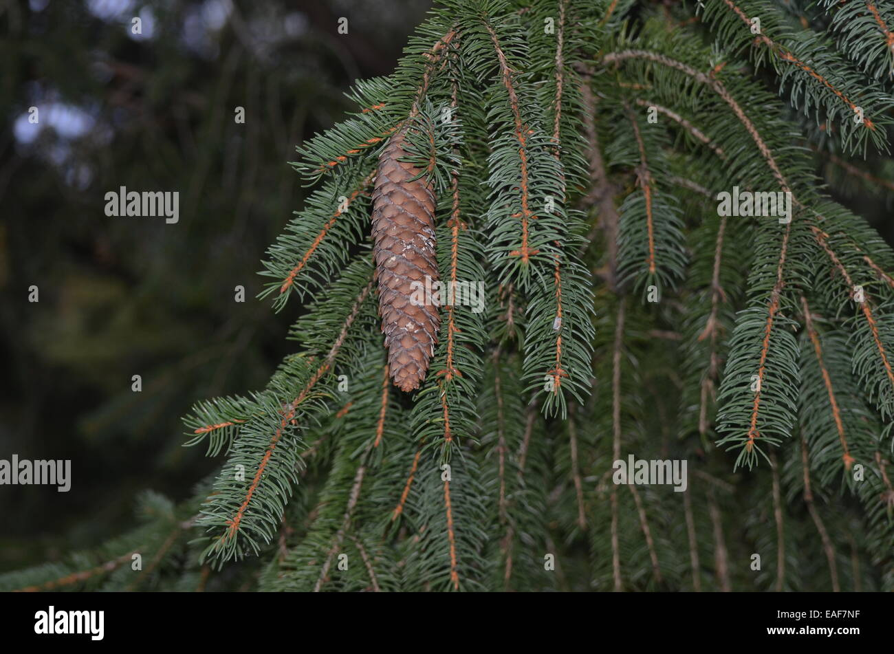 pine cone - Stock Image