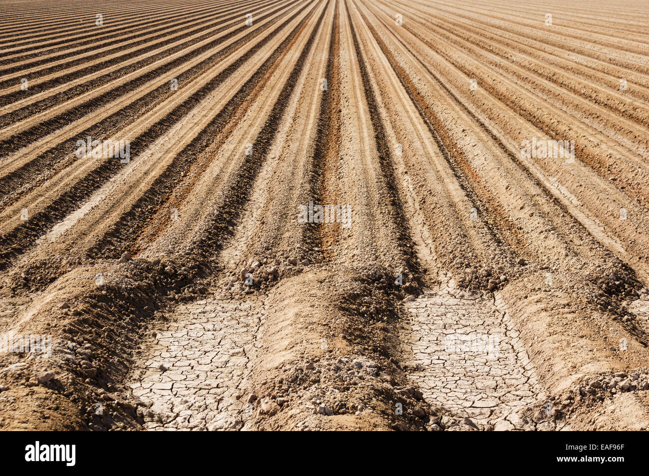 prepared farm soil with parallel rows of dirt ready for planting - Stock Image