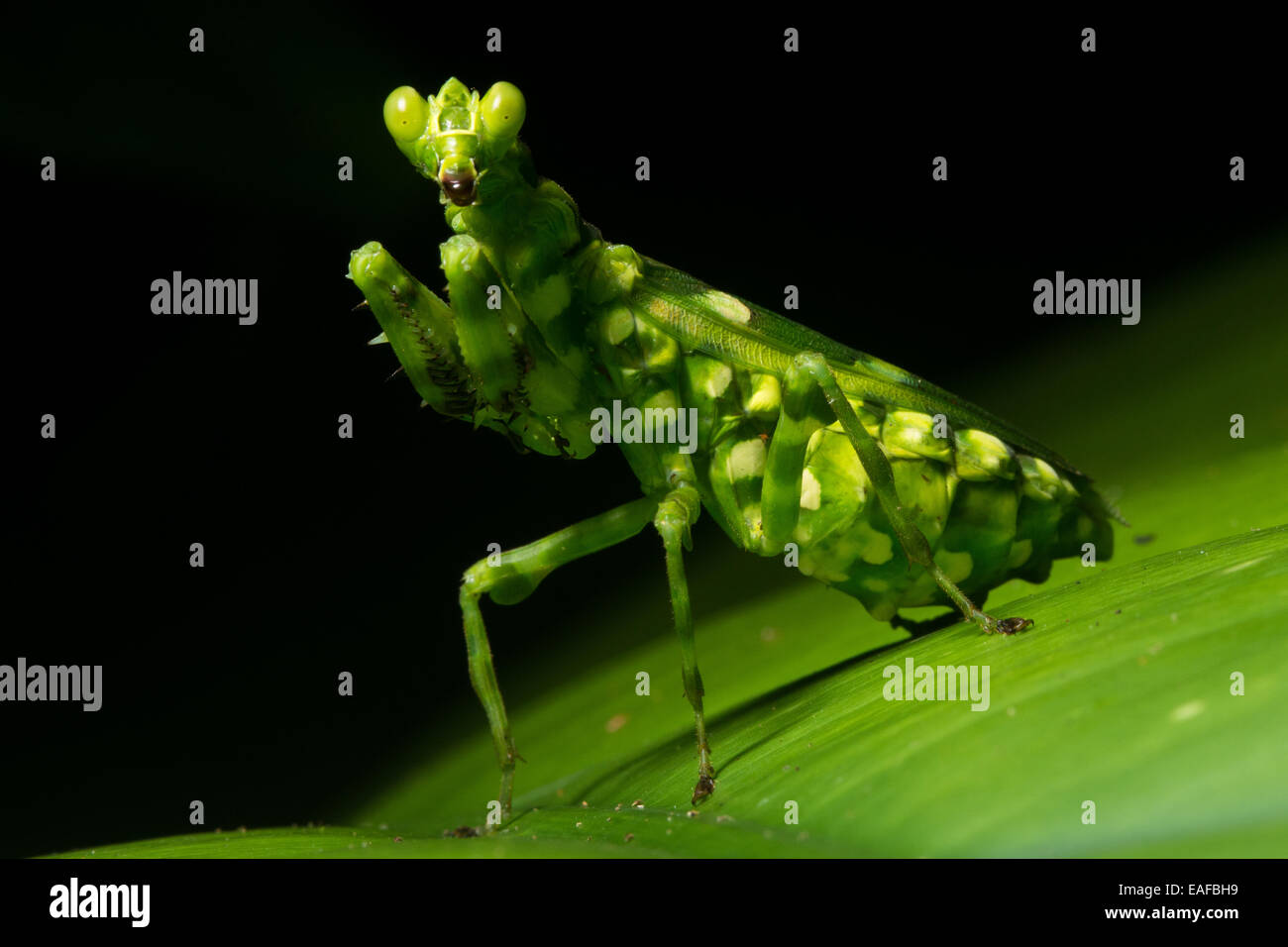 A praying mantis encountered in the jungle in Bornean Malaysia. - Stock Image