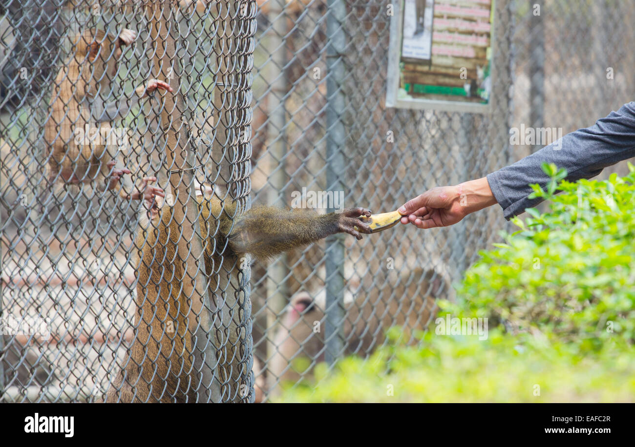 Man Giving Banana To Monkey In Its Cage In Thai Zoo Stock Photo
