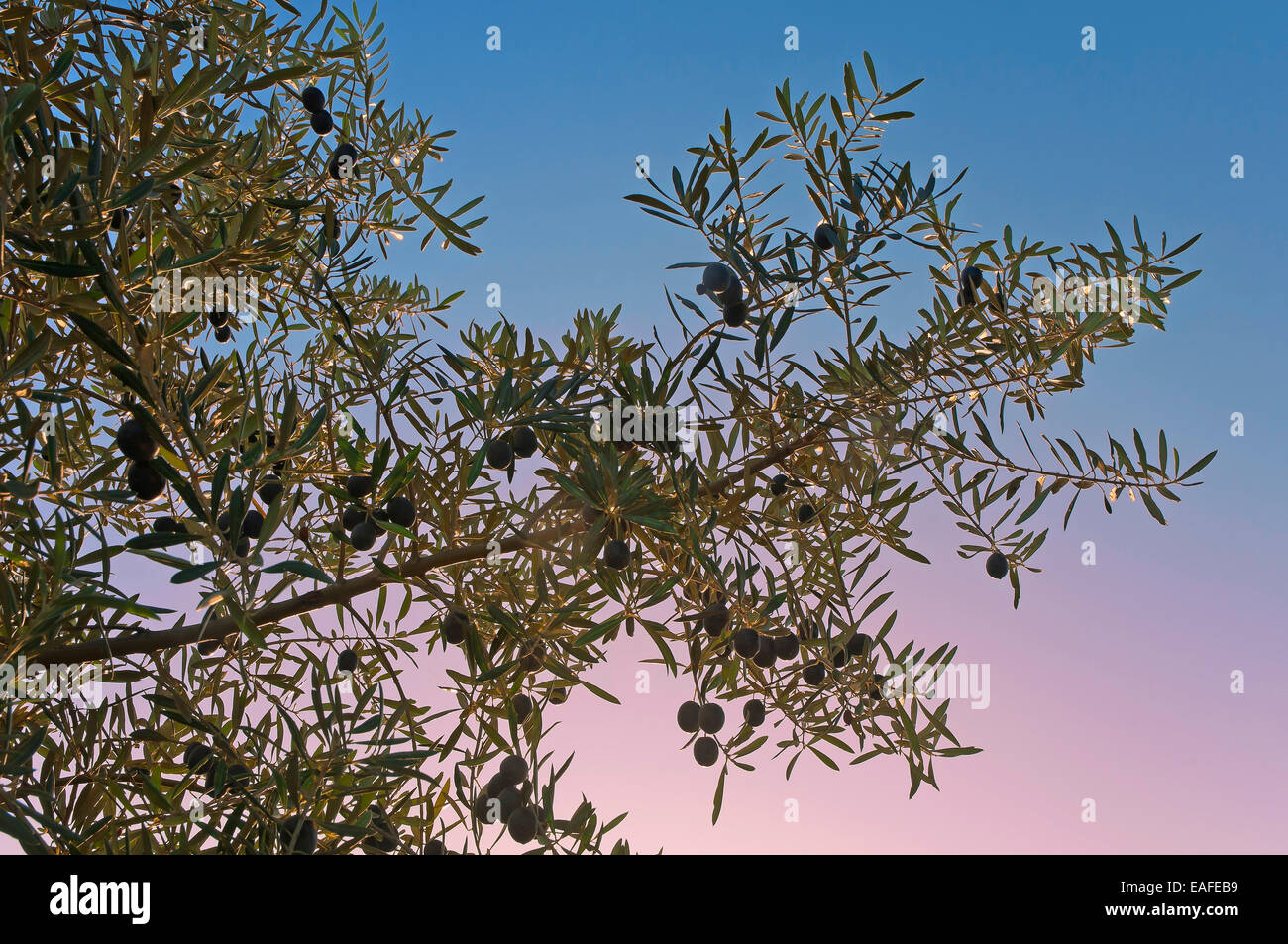 Olive branch, Martos, Jaen province, Region of Andalusia, Spain, Europe - Stock Image