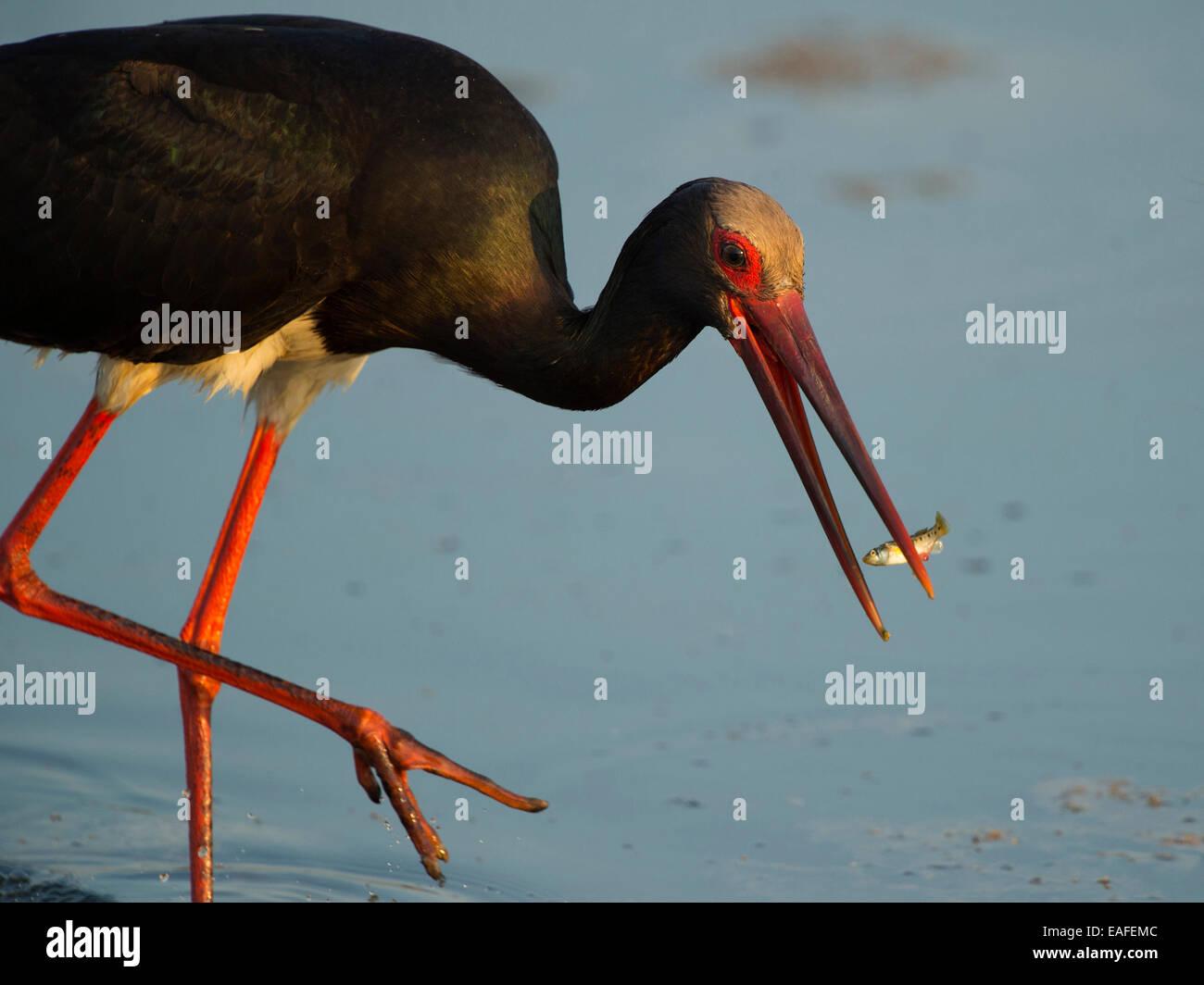 black stork, ciconia nigra, germany, europe - Stock Image