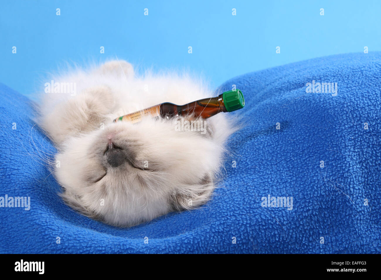Highlander Kitten - Stock Image