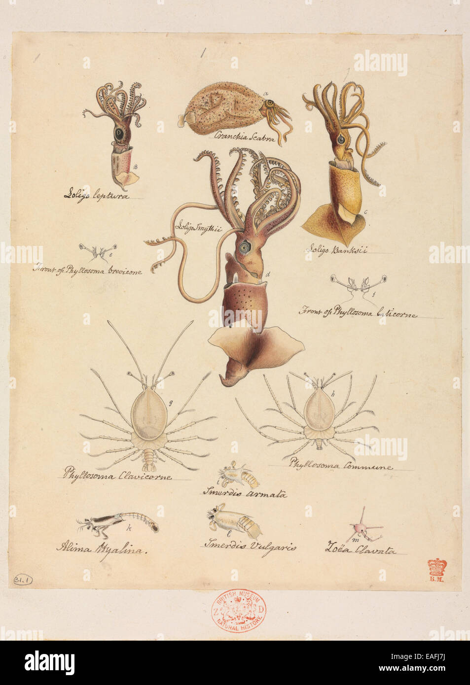 Various Mollusca and Crustacea species, including Loligo sp. squids and Phyllosoma lobsters - Stock Image
