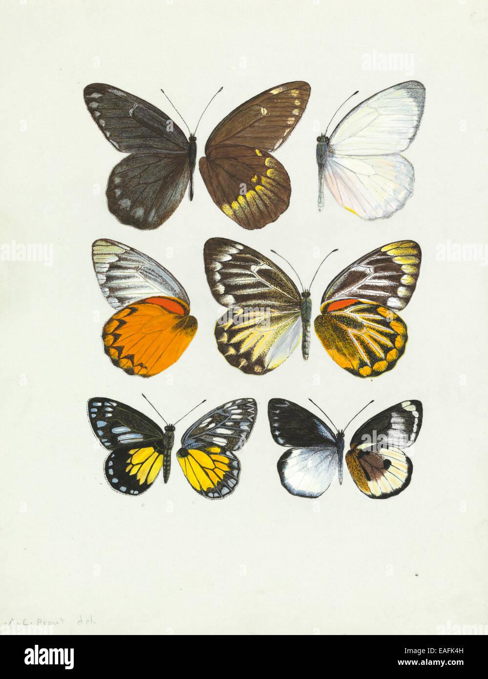 Pierine genus, Butterfly wings - Stock Image