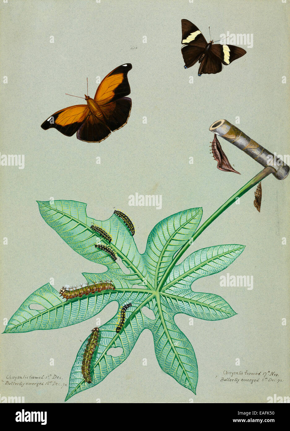 Colobura dirce, Mosaic or Zebra Mosaic and Historis odius, Stinky Leafwing with caterpillars of the same species - Stock Image