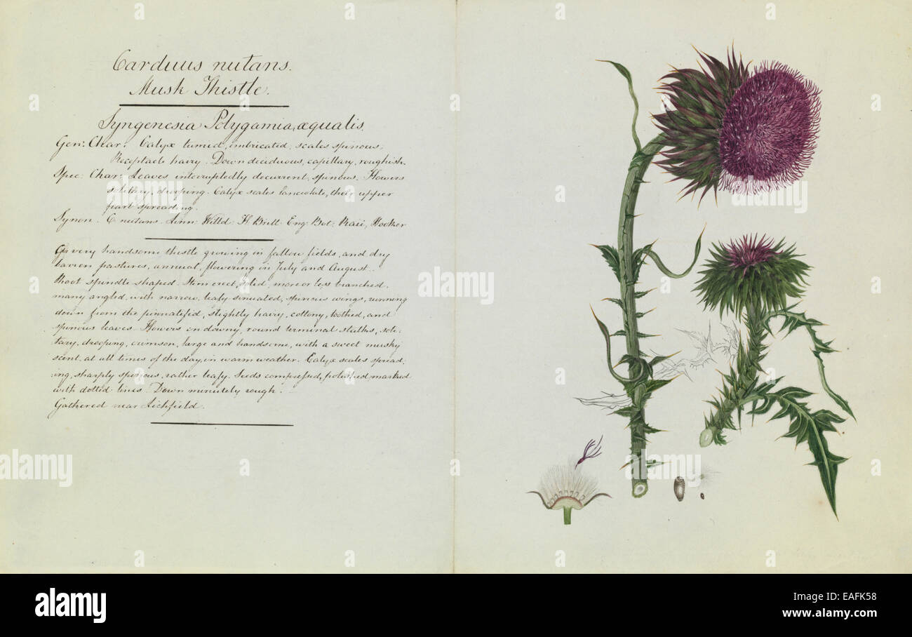 Carduus nutans, musk thistle - Stock Image