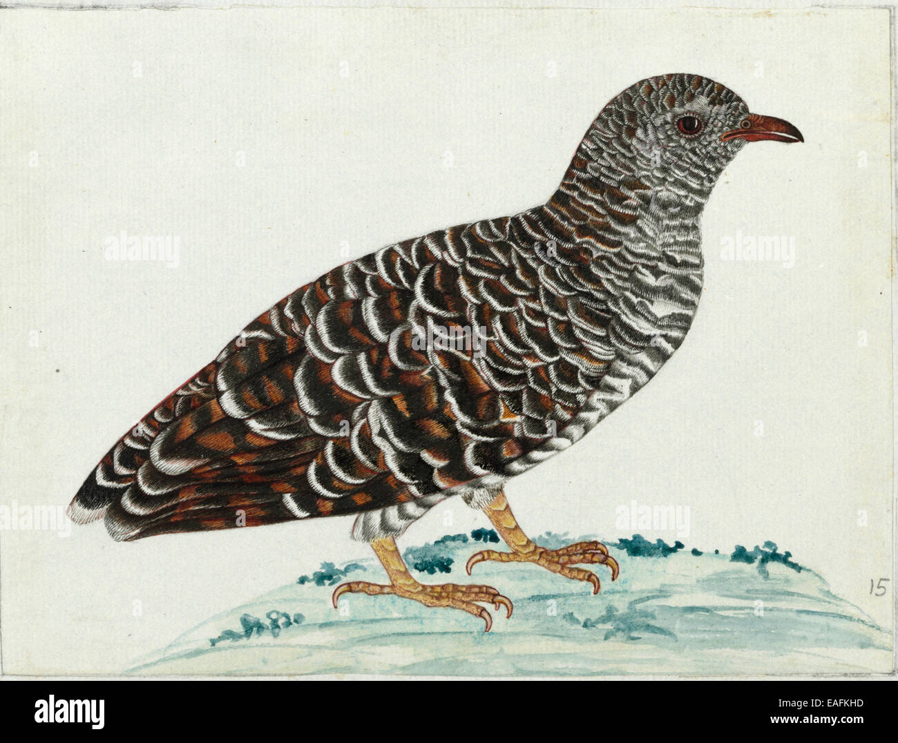 Young Cuckoo sp., Cuculidae Family - Stock Image
