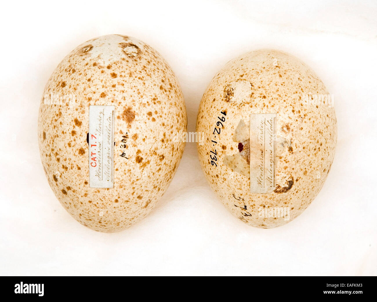 Agriocharis ocellata eggs - Stock Image