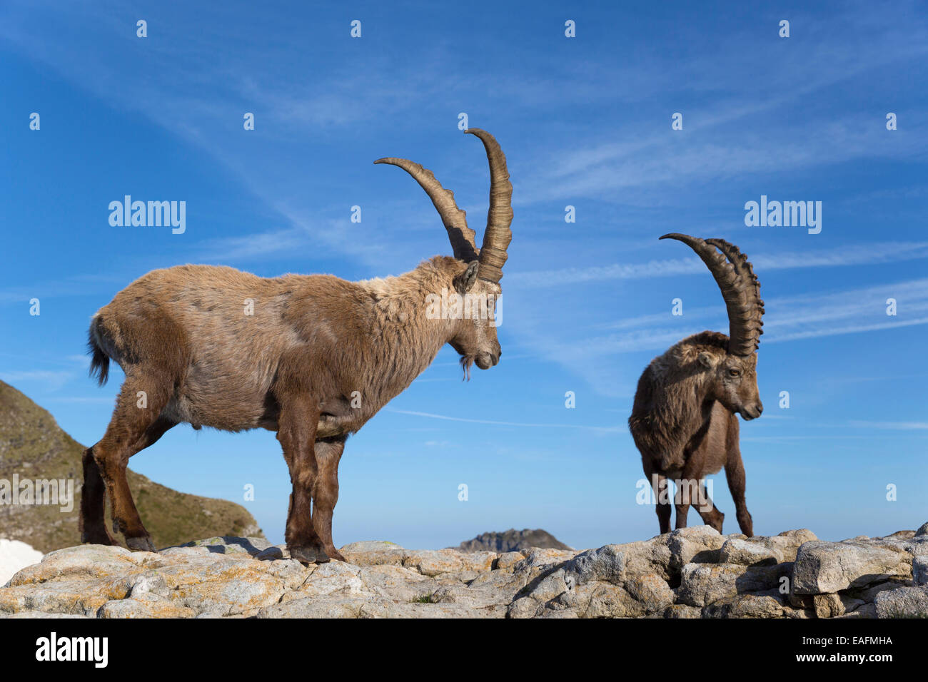 Alpine Ibex Capra ibex Two males standing rock Switzerland - Stock Image