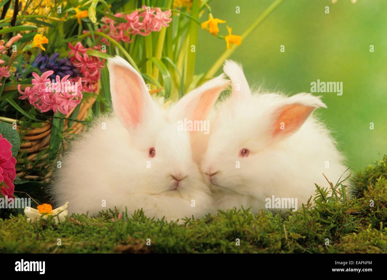 Dwarf Rabbit Pair Of White Angora Rabbits Moss Next To Spring
