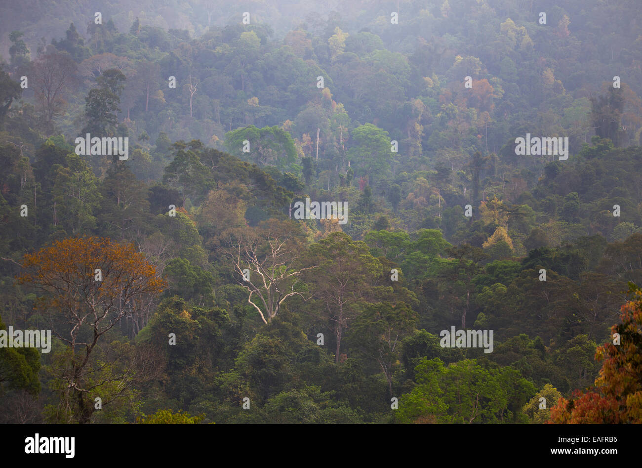 Colorful foliage on trees in pristine tropical rainforest in Taman Negara National Park, Malaysia Stock Photo