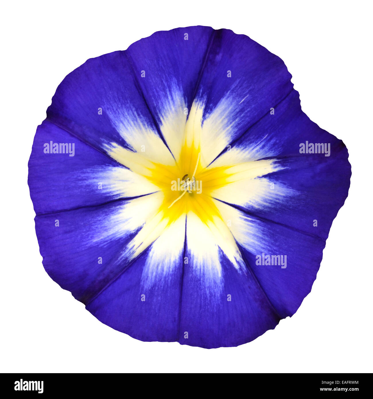 Blue Flower with White Yellow Star Shaped Center Isolated on White ...