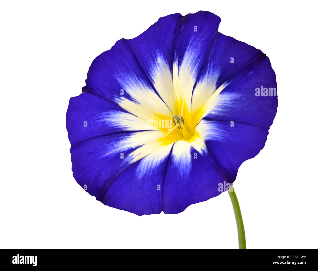 Purple star shaped flower stock photos purple star shaped flower blue flower with white yellow star shaped center with green stick isolated on white background mightylinksfo
