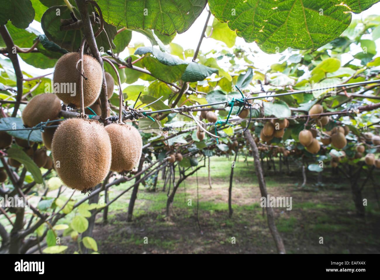 Kiwi plant close up. Day light - Stock Image